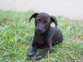 svart-liten-hund